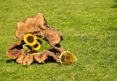 A hollow tree trunk decorated with sunflowers. A hollow tree trunk in a meadow decorated with sunflowers on a sunny day stock image