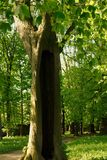 The hollow tree Stock Images