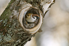 Sparrow in a hollow tree Stock Photo