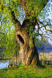 Hollow willow Stock Photos