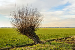 Hollow willow tree next to a small ditch. Skew and hollow pollard willow tree in a rural landscape. It is a cloudy day in the Dutch winter season Royalty Free Stock Photos