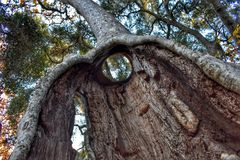 Hollowed out tree in green forest. Hollow tree in forest Royalty Free Stock Image
