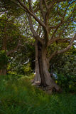 The Hollowed Out Tree. This is an old tree that is naturally hollowed. Taken in Auckland, New Zealand on mount Victoria Royalty Free Stock Photos