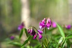 Hollowroot, Corydalis cave, macro violet de fleurs de ressort photo libre de droits