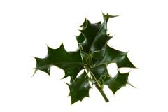 Holly. A sprig of holly with green leaves royalty free stock images