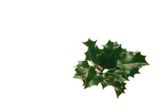 Holly. Branch of holly on a white background Stock Photos