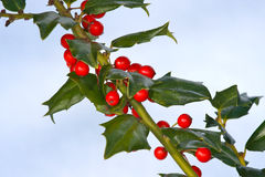Holly. Branch from a holly bush with red berries - photo taken outdoors with a bluish snow background stock photography