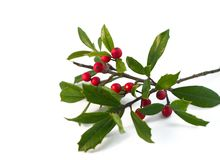 Holly. Christmas holly isolated on white royalty free stock image