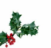 Holly. Of all the trees that are in the wood the  bears the Crown Stock Image