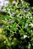 Holly. A bush of Green Christmas Holly leaves Stock Images
