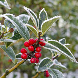 Holly. With bright red berries covered in snow and ice Stock Image