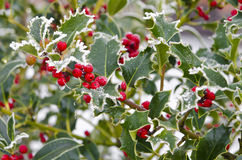 Holly. With bright red berries covered in snow and ice Stock Photo