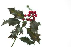 Holly Royalty Free Stock Images