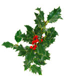Holly. On a white background in studio royalty free stock image