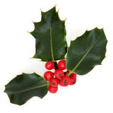 Holly. Leaf sprig with red berry cluster over white background royalty free stock photo
