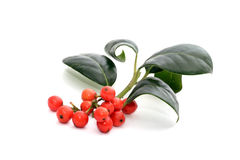 Holly. Leaves and red berries royalty free stock image