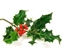 Holly. Branch, over a white background royalty free stock image