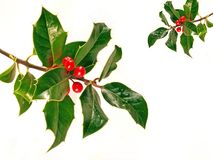 Holly. Sprigs of holly stock images