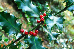 Holly. (Ilex acquifolium) bush bearing it berries stock image