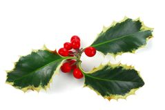 Holly. With red berries isolated on white background stock image