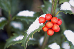 Holly. Berries with snow stock photography