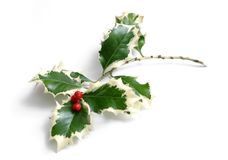 Holly. With red berries on white background royalty free stock photography