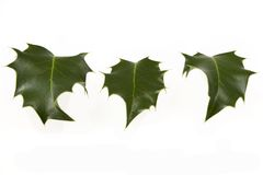 Holly. Three seperate leafs from a holly tree Stock Image