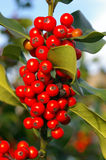 Holly Berries 01 Stock Photography