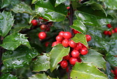 Holly Berries. Wet holly berries on a holly bush Royalty Free Stock Photography