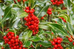 Holly berries. Closeup of ripe red berries on a holly bush Royalty Free Stock Image