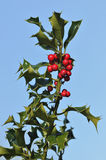 Holly Berries Stock Photos