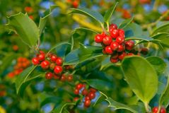 Holly and berries Stock Photography
