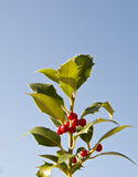 Holly with berries against blue sky Stock Photography