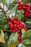 Holly berries on branch in macro view Stock Image