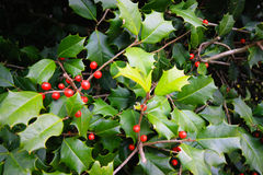 Holly Berries. Branches of Holly Berries. Photo taken on: November 2, 2013 Royalty Free Stock Photos