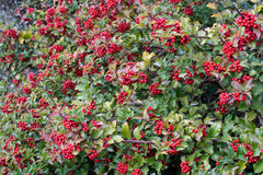 Holly berries Stock Images