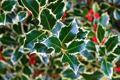 Holly and berries. A holly bush with red berries stock images