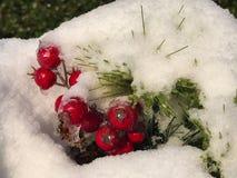Holly Berries dans la neige Photographie stock libre de droits