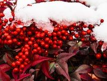Holly Berries in de sneeuw Royalty-vrije Stock Afbeelding
