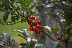 Holly Berries Growing em Bush fotos de stock royalty free