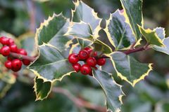 Holly with berries. / Spiny shrub with red berries stock photography