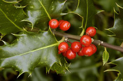 Holly Berries - Ilex aquifolium. Close-up of small group of berries royalty free stock photography