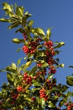 Holly Berries - Ilex aquifolium. Mass of red berries and leaves against polarised blue sky royalty free stock photo