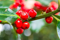 Holly berries, ilex, close up. Macro of red holly berries, ilex part of the Aquifoliaceae family stock image