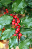 Holly Berries and Leaves Royalty Free Stock Photos
