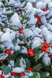 Holly Berries and Leaves with Snow Royalty Free Stock Photography