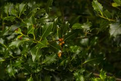 Early holly berried on the branch Stock Photography