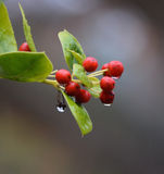 Holly Berries. With rain drop, red berries in the rain Stock Image
