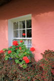 Holly berries,red geraniums and pretty window on pink wall of home Royalty Free Stock Photography