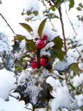 Holly berries and snow. Red hollies berries and leaves in the winter snow Stock Images
